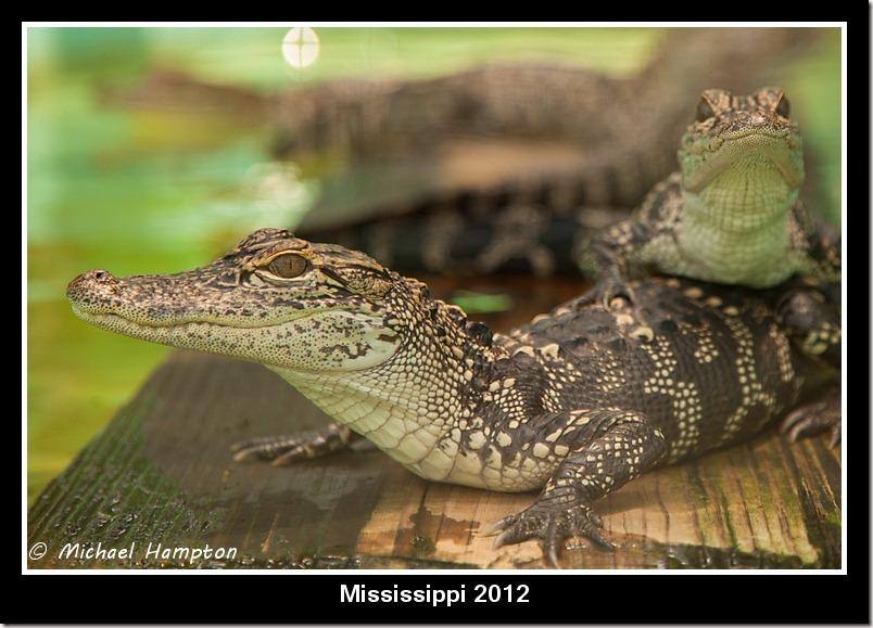 gators photo